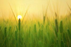 El trigo y cizaña